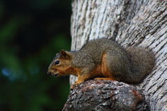 Squirrel. This is a California Grey Squirrel in a Scrub Oak tree Royalty Free Stock Photography
