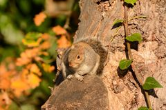 Squirrel camouflaged against tree trunk Stock Photos