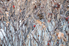 Squirrel camouflagged in a bush Royalty Free Stock Image