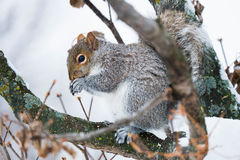 Squirrel eating on a branch in winter Royalty Free Stock Photos