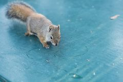 Squirrel on camping table. stock images