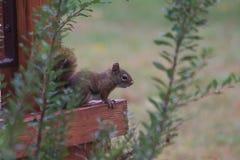 Squirrel Canada Stock Image