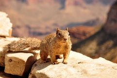 Squirrel in canyon Stock Photography