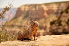 Squirrel in canyon Stock Image