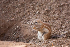 Squirrel Cape Royalty Free Stock Images