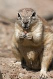 Squirrel cape Stock Images