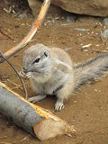 Squirrel Cape Province. Squirrel Cape is a small squirrel measuring about 20-30 cm in length with a weight of about 575 g. Tactile whiskers are long, cylindrical Royalty Free Stock Photography