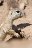 Squirrel cape Stock Image