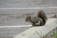 Squirrel on car bumper in park paring lot Stock Photography