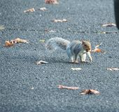 Squirrel in a car park. A squirrel walking across a car park with food in it`s mouth royalty free stock photography
