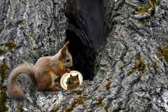 Squirrel carries will coin dogecoin. To the house in the hollow tree. To store doge. Store cryptocurrency stock photography