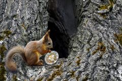 Squirrel carries will coin ripple. To the house in the hollow tree. To store xrp. Store cryptocurrency royalty free stock photography