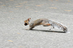 Squirrel carry a peanut Royalty Free Stock Images