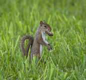Squirrel Carrying Treat Royalty Free Stock Images