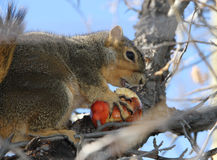 Squirrel carrying winter apple Stock Images