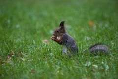 Squirrel caught up with a big nu. T in the mouth in profile Stock Photography
