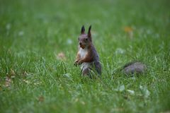 Squirrel caught up with a big nut. In the mouth Royalty Free Stock Images