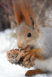 Squirrel with the cedar cone Royalty Free Stock Photo