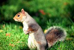 Squirrel in central park stock images