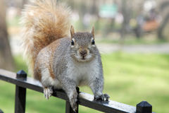 Squirrel in Central park Stock Photo