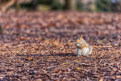 Squirrel in Central Park in New York. Stock Image