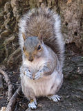 Squirrel at Central Park, New York City Stock Photography