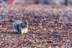 Squirrel in Central Park in New York. Eating Nut. Stock Photo