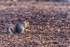 Squirrel in Central Park in New York. Eating Nut. Royalty Free Stock Photo