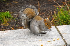 Squirrel of the Central park, New York Stock Image