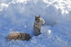 Squirrel of the Central park in winter. New York. Stock Image