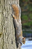 Squirrel of the Central park in winter. New York. Royalty Free Stock Photography