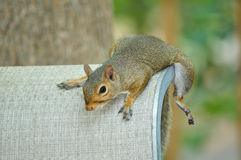 Squirrel on Chair Royalty Free Stock Images