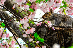 Squirrel and Cherry blossoms in Spring, Washington DC, USA Stock Photos