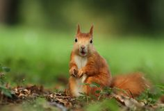 Squirrel chewing Royalty Free Stock Photo