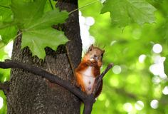 Squirrel chews nut sitting in a tree Stock Photos