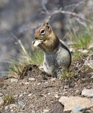 Squirrel chews a piece Royalty Free Stock Photos
