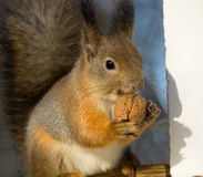 Squirrel chews walnut Royalty Free Stock Photo
