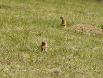 Squirrel Chipmunk Royalty Free Stock Photography