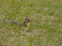 Squirrel Chipmunk Royalty Free Stock Images