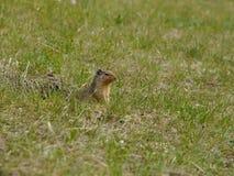 Squirrel Chipmunk Royalty Free Stock Images