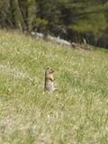 Squirrel Chipmunk Royalty Free Stock Image