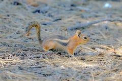 Squirrel. Chipmunk, squirrel in Yosemite Park stock images