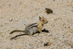 Squirrel. Chipmunk, squirrel in Yosemite Park Stock Photography