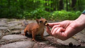 Squirrel chooses nut from the hands of girl. Green spring park background stock footage