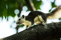 Squirrel in Chulalongkorn University Royalty Free Stock Photography