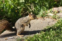 Squirrel and cigarette Stock Images