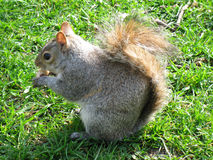 Squirrel. City, living in St James's Park, London Stock Photography