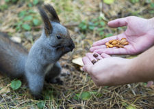 Squirrel in a city park eating peanuts from the hands of man Stock Photo
