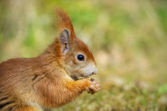 Squirrel classic Royalty Free Stock Photography