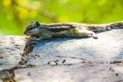 Squirrel @~CLICK~ SHUBH Stock Photo
